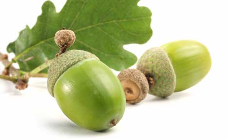 A couple of acorns - symbolizing the seed-like vasanas